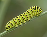 The big green caterpillar Royalty Free Stock Photos