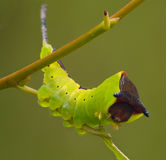 The big green caterpillar Stock Images