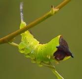 The big green caterpillar Stock Images