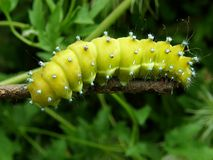 Big green caterpillar pavonia saturnia Stock Photos