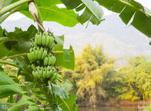 Big green cluster of green bananas hanging on the palm near the Royalty Free Stock Images