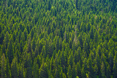 Big green coniferous trees. In the forest of a national park Stock Photography
