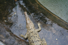 Big green crocodile tends to water Royalty Free Stock Image