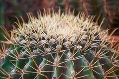 Big green cuctus close up in a garden. Plant background. Green cuctus close up in a garden.Plant background royalty free stock photos