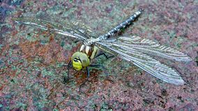 Large dragonfly on a stone. A big green dragonfly with big slanted wings sits on a rock with its eyes to the camera. It is an Odonata Aeshnidae viridis, a noble royalty free stock photos