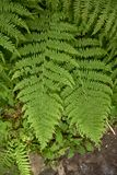 Big green fern leaves top view vertical image.  royalty free stock image
