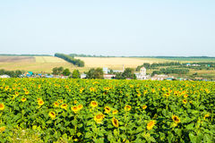Big green field full of sunflowers Stock Photography