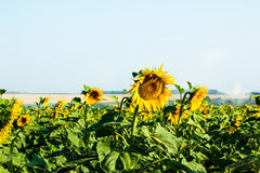 Big green field full of sunflowers Royalty Free Stock Image