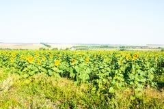 Big green field full of sunflowers Stock Image