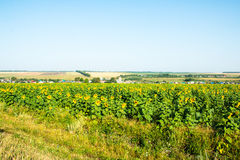 Big green field full of sunflowers Stock Images