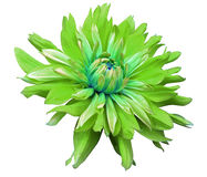 Big green flower opens on a white  background isolated  with clipping path. Closeup. side view for design. with drops of water. Stock Images