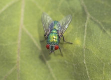 Big green fly on the leaf Stock Image