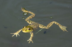 Big green frog. (American Bullfrog) floating on the water Royalty Free Stock Image