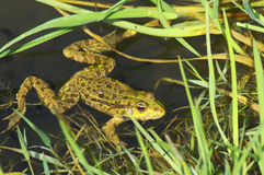 Big green frog Royalty Free Stock Photos