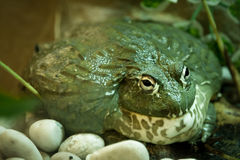 Big Green Frog. A green frog expanding its body Stock Images