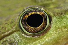 Big green frog eyes Royalty Free Stock Photo