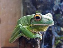 Big green frog sitting on a branch royalty free stock photos