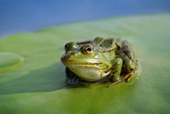 Big green frog sitting on a green leaf lily Stock Photography