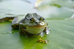Big green frog sitting on a green leaf lily Stock Photos