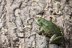 Big green frog Stock Image
