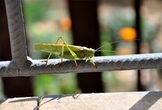 Big green grasshopper Royalty Free Stock Image