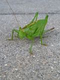 Big green grasshopper on gray background royalty free stock photography