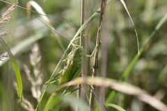 Big green Grasshopper in the green Nature, Macro View Royalty Free Stock Photo