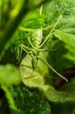 Big green grasshopper hanging upside down.  Stock Image