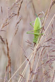 Big green grasshopper on a hay straw Stock Photography