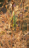 Big green grasshopper on a hay straw Royalty Free Stock Photos