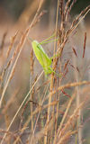 Big green grasshopper on a hay straw Royalty Free Stock Image
