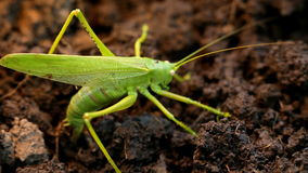 Big green grasshopper lays her eggs in the soil stock video footage