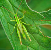Big green grasshopper on the leaves Stock Image
