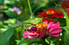 Big green grasshopper Royalty Free Stock Photography