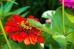 Big green grasshopper Stock Image