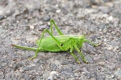 Big green grasshopper Stock Images