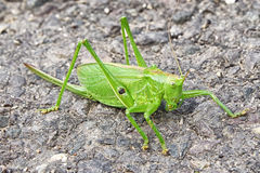 Big green grasshopper Royalty Free Stock Images
