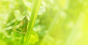 Big green grasshopper sitting on a blade of grass in beautiful s Royalty Free Stock Photos