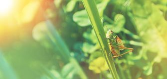 Big green grasshopper sitting on a blade of grass in beautiful s Royalty Free Stock Images
