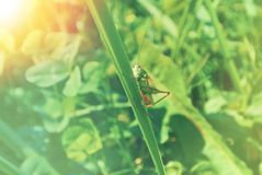 Big green grasshopper sitting on a blade of grass in beautiful s Royalty Free Stock Image
