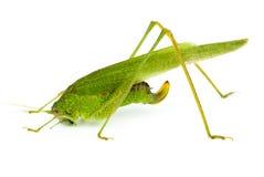 Big green grasshopper (Tettigonia Royalty Free Stock Photo