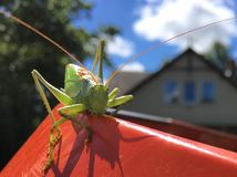 Big green grasshopper with huge mustache. Big green grasshopper very close. Well-seen grasshopper. Long Must. Grasshopper staring at us in the yard stock photos