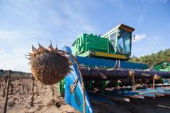 Big green harvester in the field on a sunny day mowing ripe, dry sunflower seeds. Autumn harvest. Stock Image