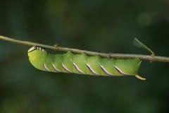 Big green hawk moth - sphinx ligustri Royalty Free Stock Image