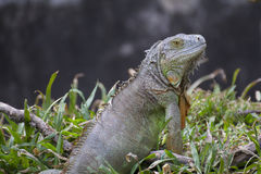 Big green iguana Royalty Free Stock Image