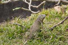 Big green iguana Stock Photo