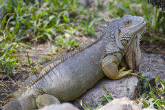 Big green iguana Stock Images
