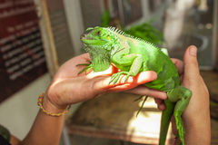 Big green Iguana on human hand Stock Image