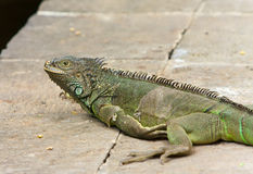 The big green iguana lies on a stone Royalty Free Stock Photos