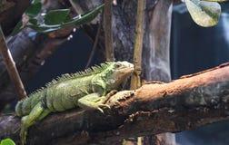 A big green iguana on tree branch. Stock Photography